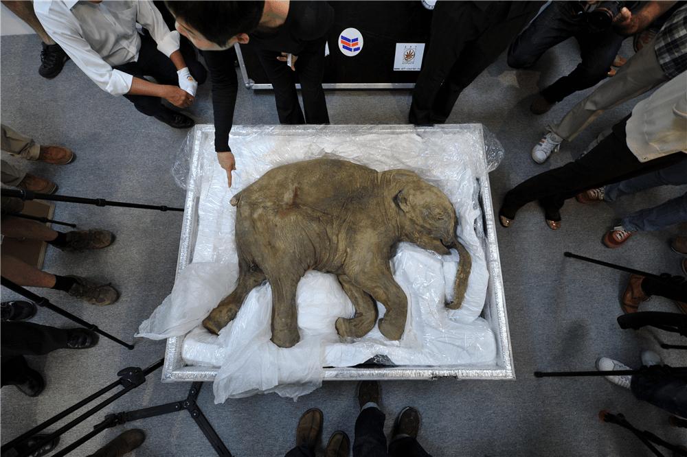 un bébé mammouth retrouvé en sibérie