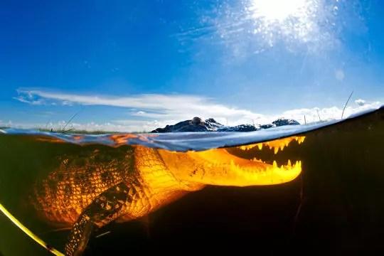 alligator à la surface