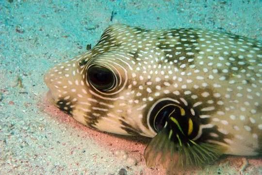 un poisson-coffre