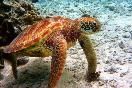 une tortue caouanne néo-calédonienne