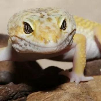le gecko a pu développer un mécanisme qui lui permet de s'accrocher à une