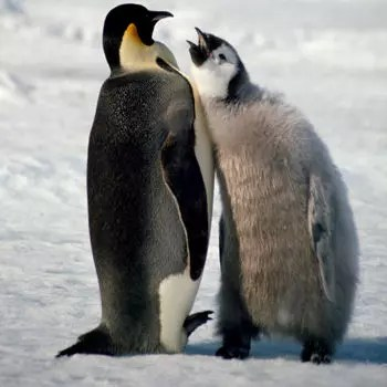 les mâles pingouins empereurs couvent leurs ?ufs sans bouger pendant deux mois.