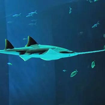 le poisson-scie utilise son rostre pour chercher ses proies.