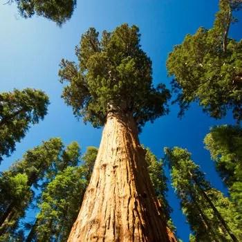 l'arbre le plus haut recensé était un eucalyptus qui mesurait 114 m en 1855 et