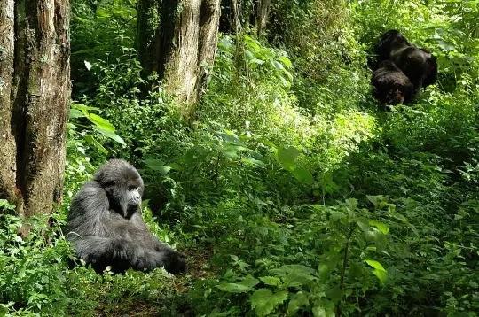 rien de tel que de marcher dans la forêt rwandaise, à la recherche des gorilles