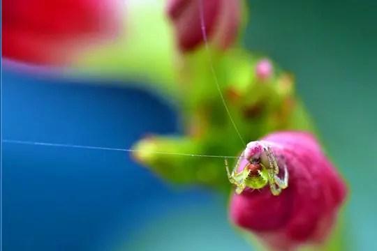 araignée funambule