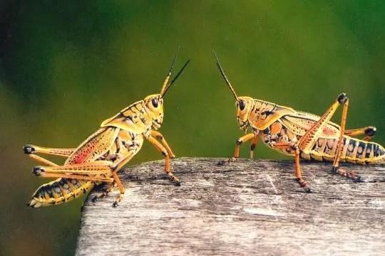 duo de criquets