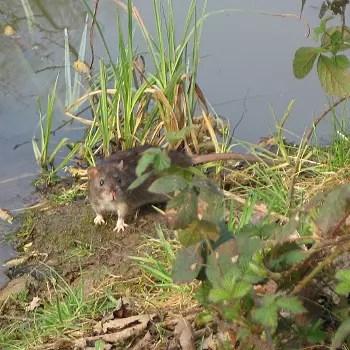 un rat dans la nature.