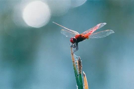 rouge libellule