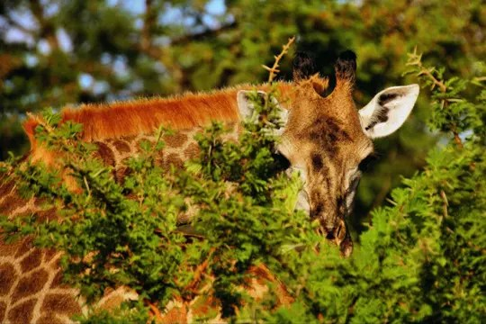 cache-cache avec une girafe
