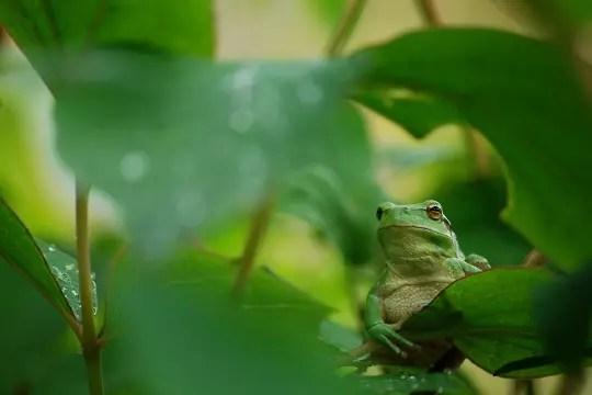 curieuse rainette verte