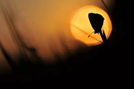 l'azuré, un rêveur dans sa bulle