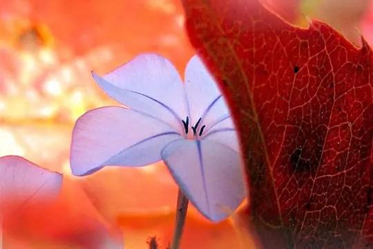 fleur de plumbago