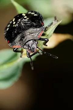 punaise noire
