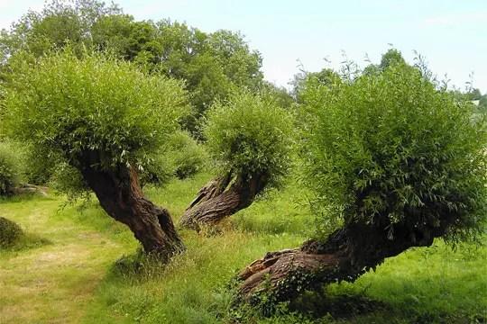 arbres dansant