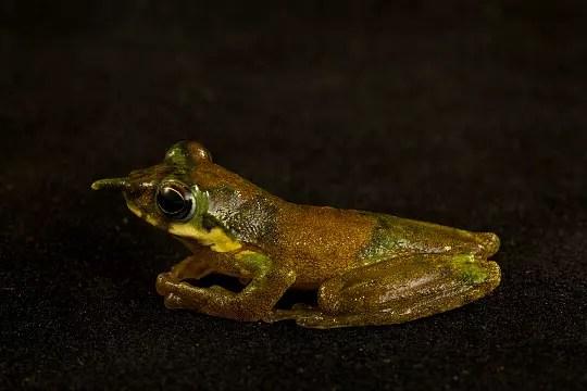 grenouille pinocchio