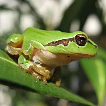 la rainette méridionale est très jolie avec sa belle couleur verte et ses yeux