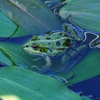 de nombreuses grenouilles sont appelées 'grenouille verte' mais seules quelques