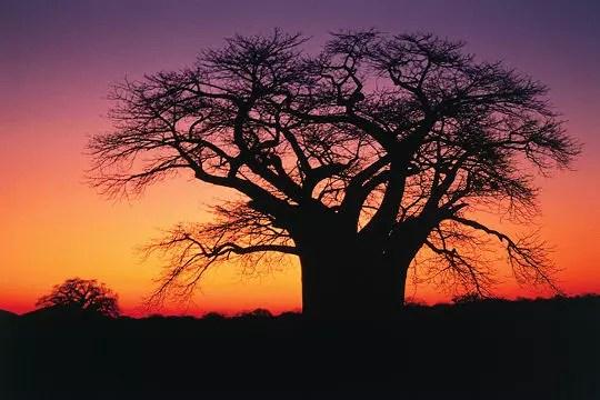 fier baobab dans le parc kruger