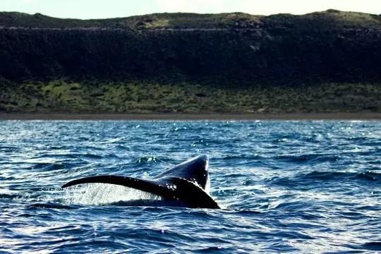 a la rencontre des baleines franches