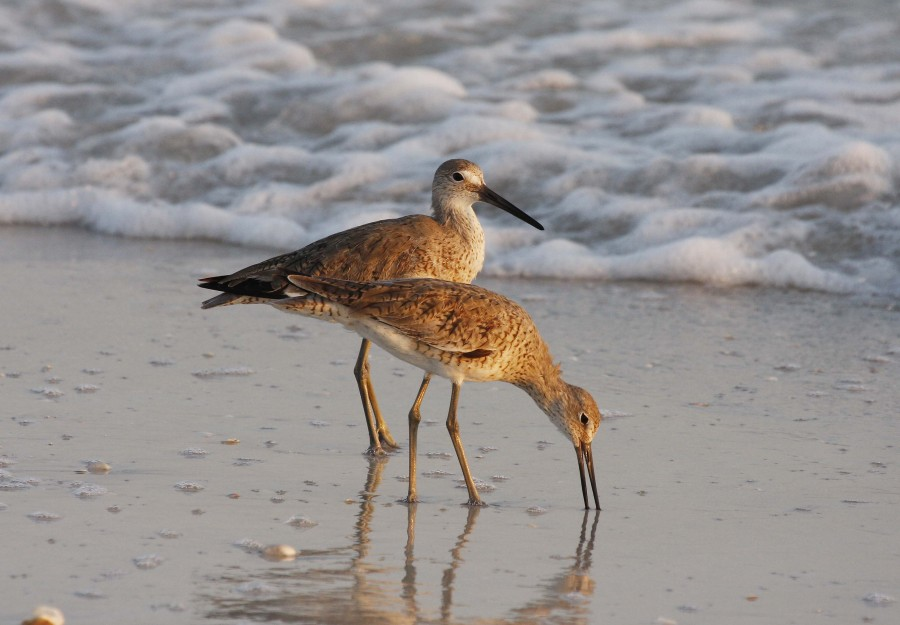 Florida Willets, Linton Wildlife Photography