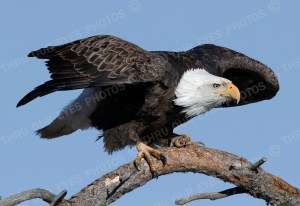 Bald Eagle Perched - Linton Wildlife Photography
