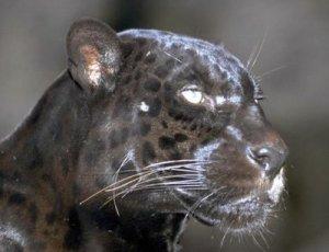 jaguarblack