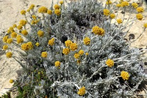 "Wild plants known as ""Maltese Everlasting"" grow only near the western cliffs of Gozo."