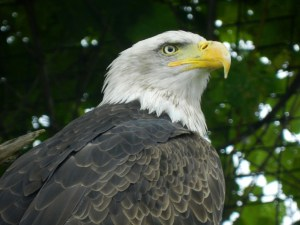 A bald eagle in captivity at Bay Beach Wildlife Sanctuary in Green Bay, Wisconsin