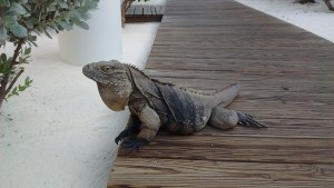 Iguanas are protected on the island and often roam the resort looking for handouts.
