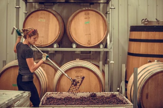 """Punching down"" wine grapes"