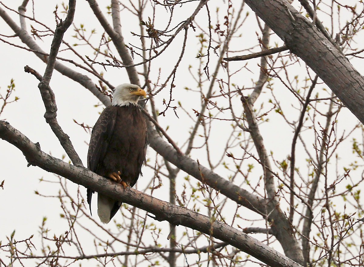 Bald Eagle perched on a bare tree branch, peering through the woods