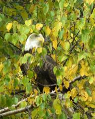 Bald eagle, perched in birch tree, looking right