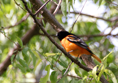 Baltimore oriole perched on a tree branch