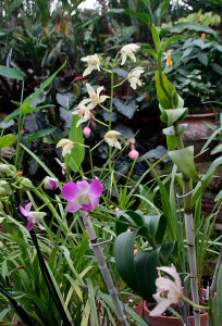 Purple and white orchids in the tropical plant room