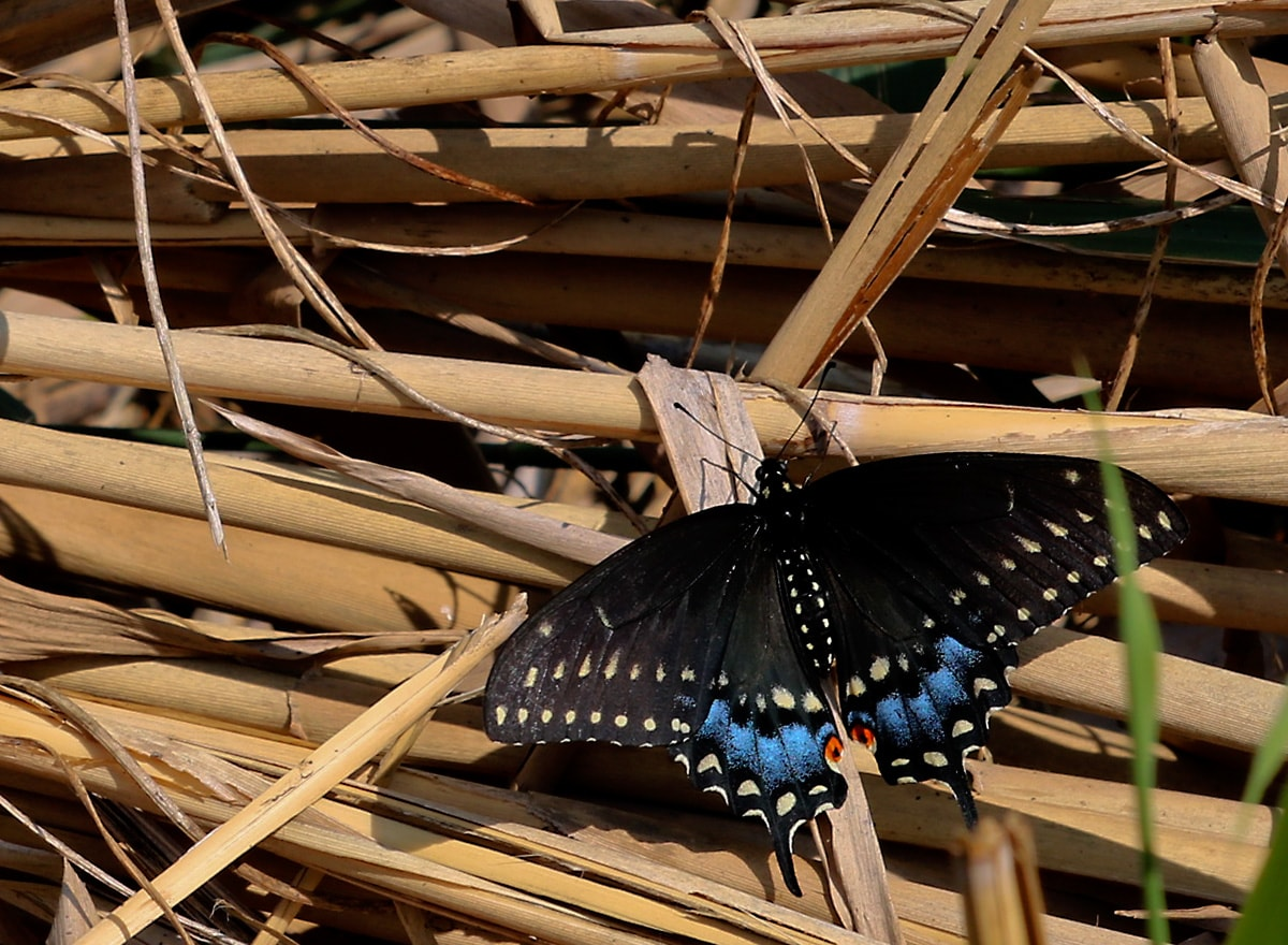 black butterfly with blue and yellow accents rests on a clump of fallen Phragmites stalks