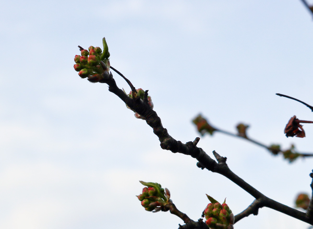 Pink and green buds of the Bradford Pear look ready to burst