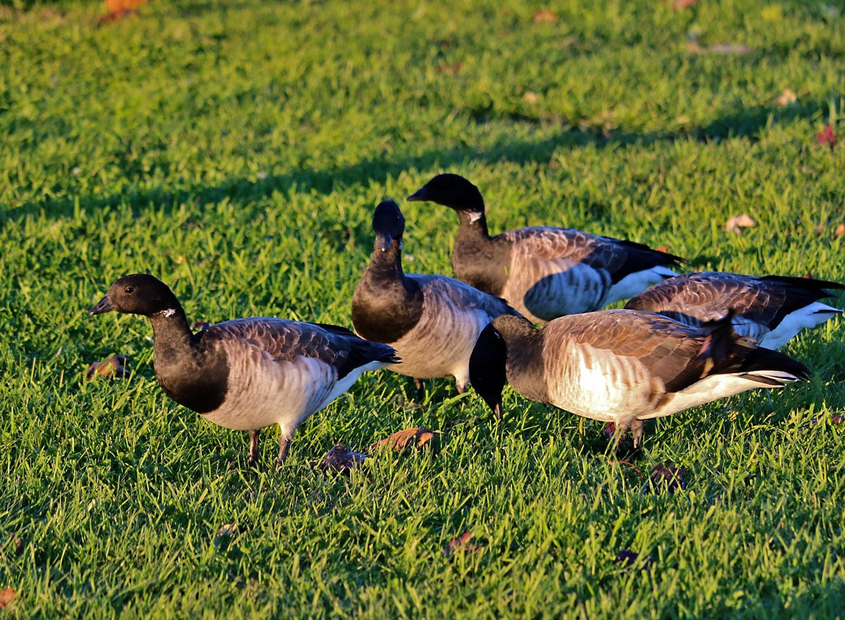 small geese with black heads and subtle white necklace gathered on the grass