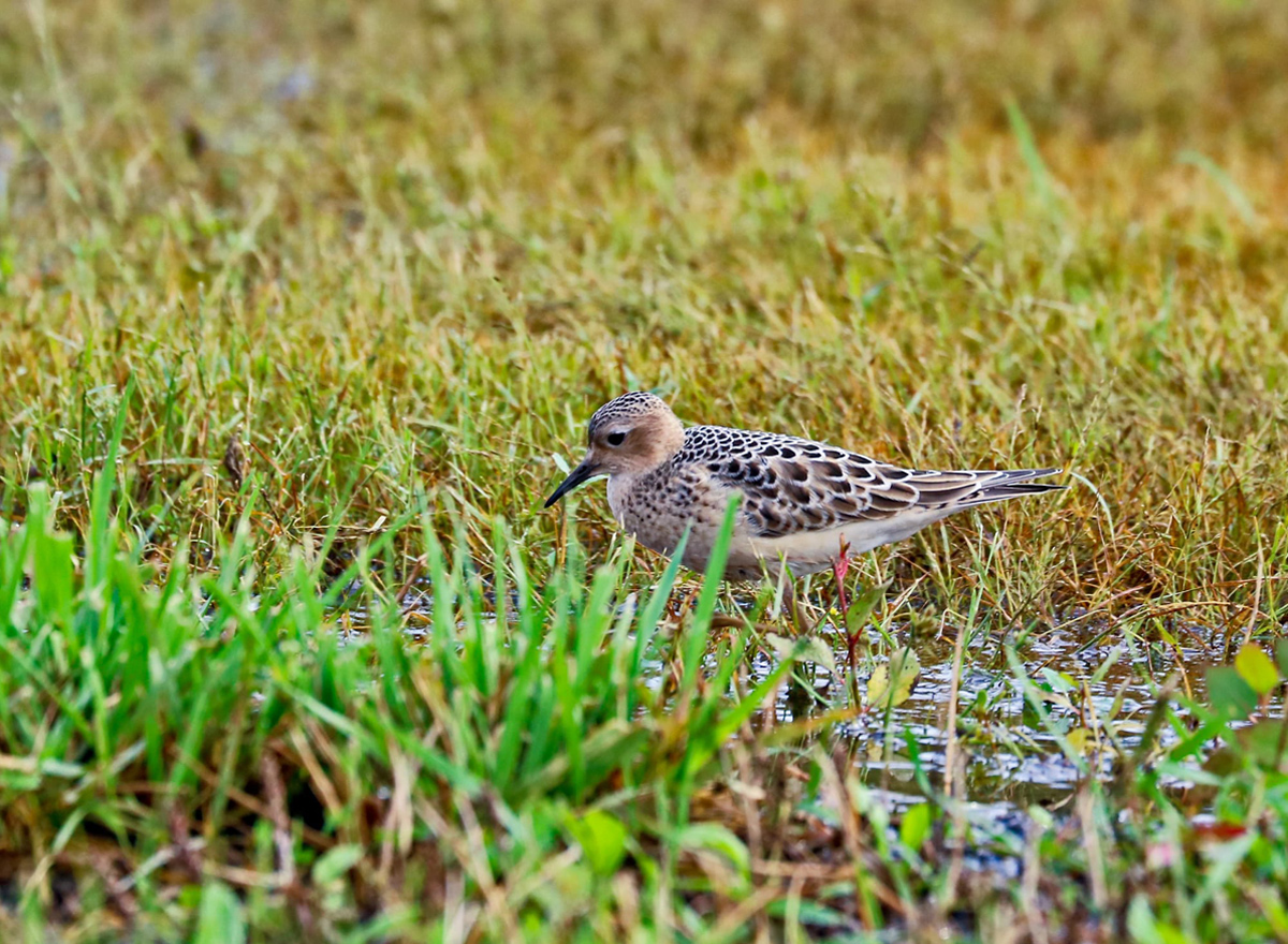 brown, white, and black bird pauses in the green grass as it searches for food.