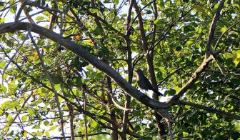 Catbird sits on a tree branch, amongst green foilage
