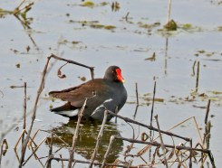 Brownish duck with yellow-tipped red bill swims lazily through the reeds.