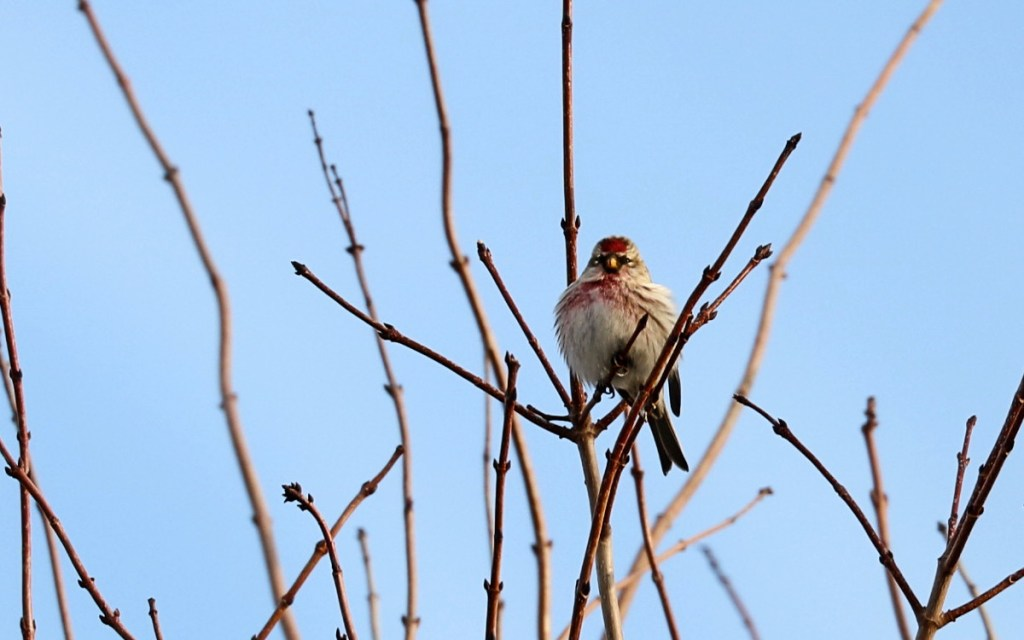 small brown and white bird with red cap perched on bare tree branches.