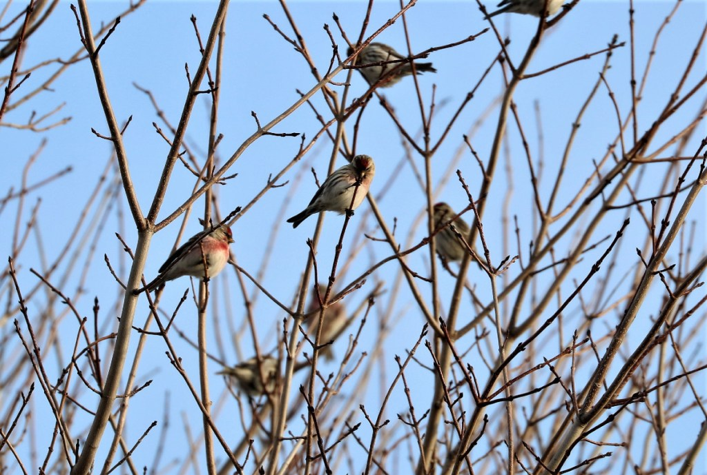 flock of Common Redpolls perched on bare braches of maple tree.