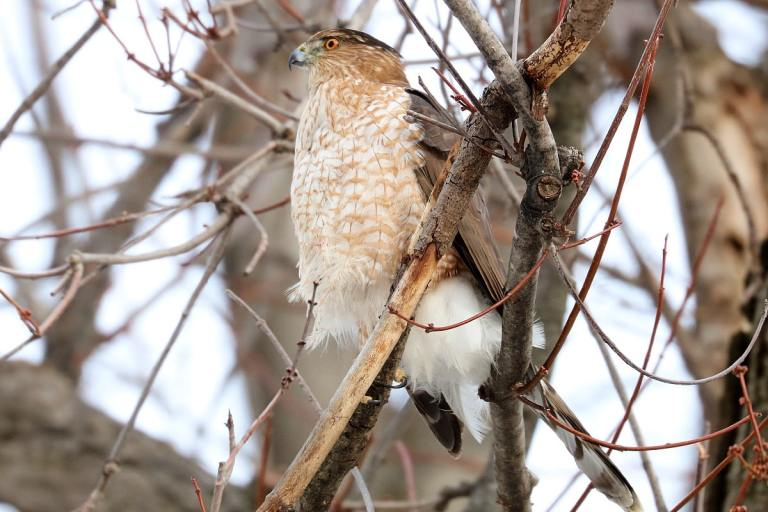 medium-sized brown-barred white-breasted hawk perches on bare branch.