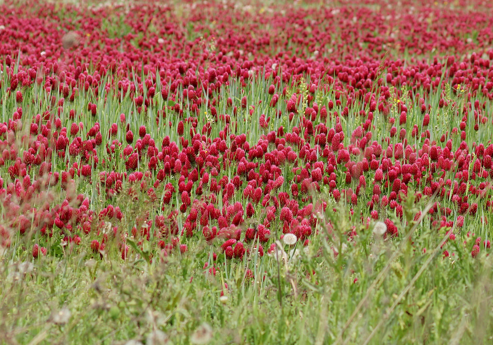 closeup view of the conical-shaped deep crimson red flowers with grasse leaves interspersed amongst the flowers.