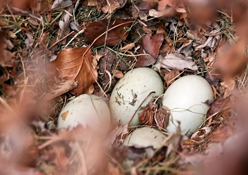 Duck eggs in a nest in our front courtyard