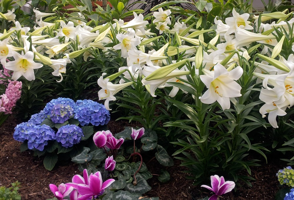 Easter Lilies, hydrangea, and cyclamens in bloom