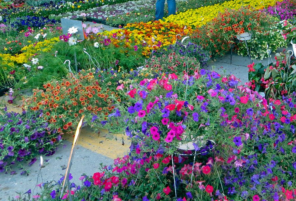 Bedding flowers at Eastern Market