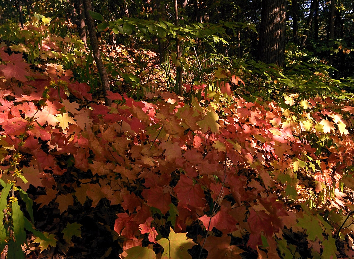brilliant gold and red maple sapling leaves stand out in the shade and dappled sunlight