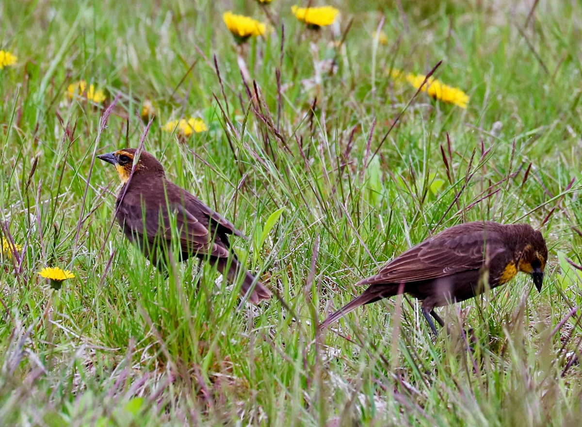 two brown birds with muted yellow face and breast feed in the grassy field.